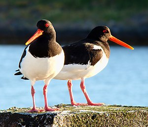 English: A nesting couple of Eurasian oysterca...