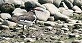 Haematopus ostralegus longipes (Haematopodidae) (Eurasian Oystercatcher ssp longipes), Chorokhi Delta, Georgia.jpg
