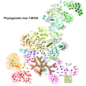 Haplogroup T-M184 - A tree showing the structure of subclades within haplogroup T-M184.