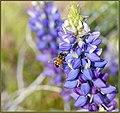 Happy Honey Bee (209656583).jpeg