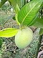 Hariavanga mango 2.jpg