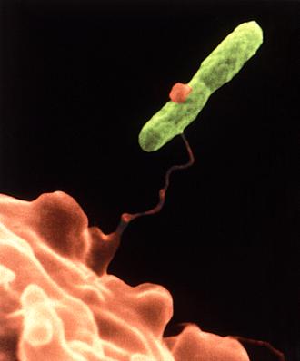 Legionella - A Legionella pneumophila bacterium (green) caught by a Vermamoeba vermiformis amoeba (orange)