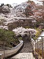 Hase-dera cherry trees of the approach to a shrine.jpg