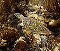 Hawksbill Sea Turtle (7454788426).jpg