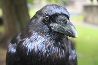 Raven - Head of a common raven