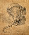 Head of an elephant. Drawing, c. 1789. Wellcome V0009141.jpg