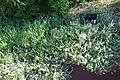 Helichrysum cymosum - Jardín Botánico de Barcelona - Barcelona, Spain - DSC08913.JPG