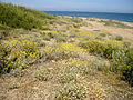 Helichrysum stoechas 5 (Espagne).JPG
