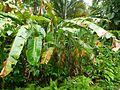 Heliconiaceae (Balisier).jpg