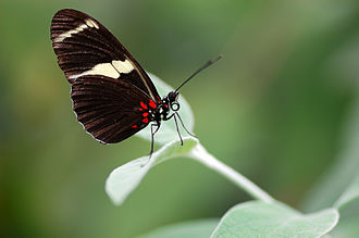 Sara longwing - Image: Heliconius sara butterfly