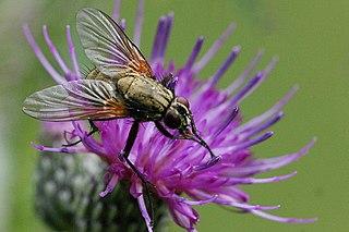 <i>Helina</i> genus of insects