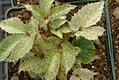 Helleborus argutifolius Janet Starnes 0zz.jpg