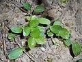 Helleborus cyclophyllus 2018-05-06 1730.jpg