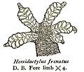 HemidactylusFrenatusRooij.jpg