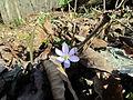 Hepatica Laurel Bluffs Trail Eno River SP 6094 (7186755900).jpg