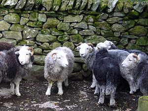 Herdwick - Herdwick tups (rams) are often kept together in bachelor flocks when not let out to cover the ewes.