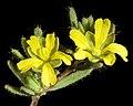 Hibbertia diamesogenos - Flickr - Kevin Thiele.jpg