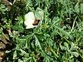 Hibiscus trionum sl32.jpg
