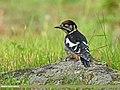 Himalayan Woodpecker (Dendrocopos himalayensis) (29016798041).jpg