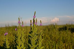Glacial Ridge National Wildlife Refuge - Image: Hoary vervain in bloom at Glacier Ridge NWR