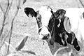 Holstein cow.jpg