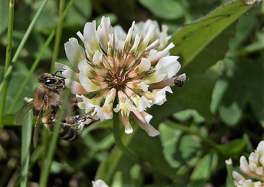 Honeybee on Trifolium repens flower.jpg