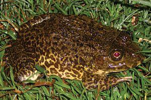 Chinese edible frog - Image: Hoplobatrachus rugulosus 2
