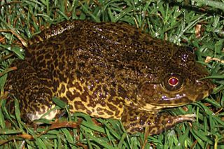 Chinese edible frog species of amphibian
