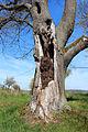 Horní Kozolupy, Slavice, protected lime tree 2.jpg