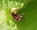 Hornet eating bee (36829864962).jpg