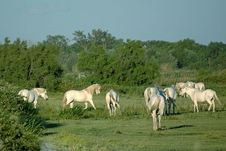 Manade - A manade of Camargue horses means at least four mares in reproductive age living together on at least 20 hectares.