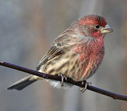 House Finch M Lambton Woods.JPG