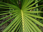 Photograph of palm leaf detail