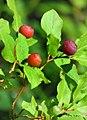 Huckleberry season.jpg