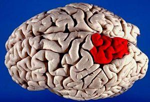 Superior parietal lobule - Image: Human brain superior lateral view with marked Superior parietal lobule