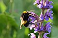 Humblebee (14134616898).jpg