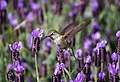 Hummingbird in lavender (Unsplash).jpg