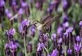 Hummingbird in lavender (Unsplash).jpg