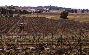 Pokolbin, New South Wales - Pokolbin vineyard