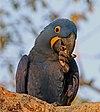 Hyacinth macaw (Anodorhynchus hyacinthinus) head.JPG