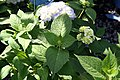Hydrangea macrophylla Endless Summer 7zz.jpg