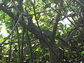 Hydrosaurus amboinensis in Burgers' Zoo (Mangrove) (3).JPG