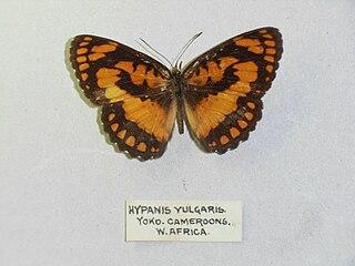 <i>Byblia anvatara</i> species of insect