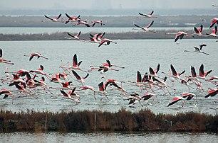 I fenicotteri rosa prendono il volo - panoramio.jpg