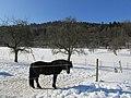 Iceländ Ponny - panoramio.jpg