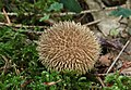 Igelstäubling Igelbovist Lycoperdon echinatum.jpg