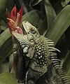Iguana-001.jpg