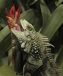 Un'iguana ripresa al Butterfly World di Stellenbosch, Western Cape Province, Sud Africa