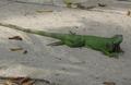 Iguana Barranquilla1.png