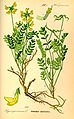 Illustration Hippocrepis comosa0.jpg